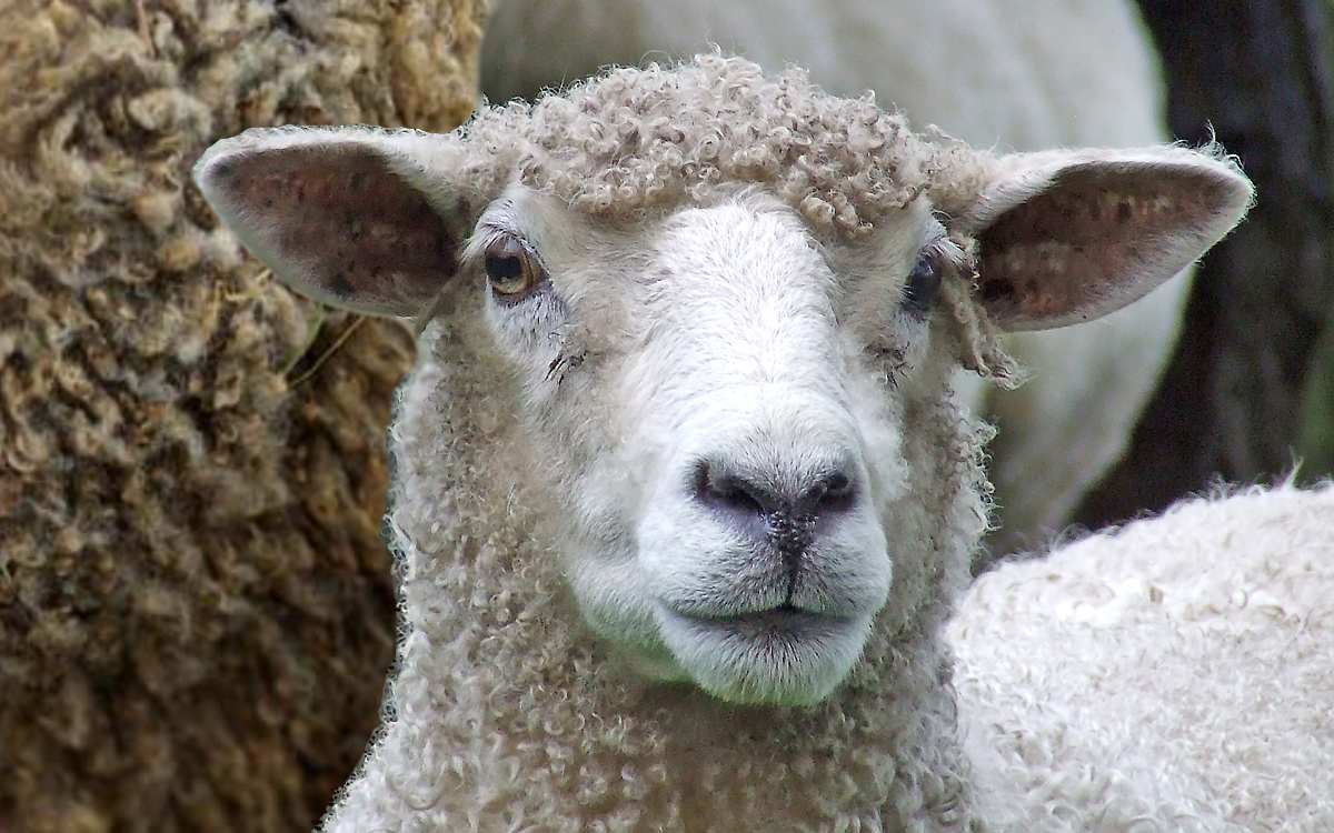 С дрянной овцы хоть шерсти клок